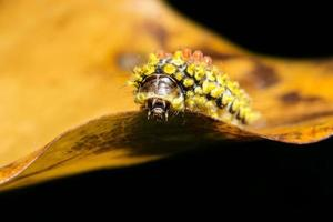 Yellow caterpillar on a leaf photo