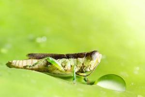 Grasshopper on a leaf photo