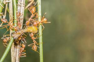 Red ants on the plant