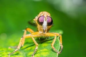 Robberfly on a leaf