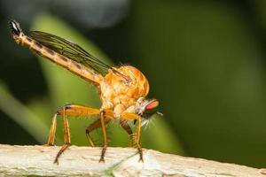 Robberfly on green background