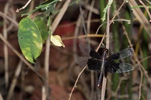 Black Dragonfly close-up photo