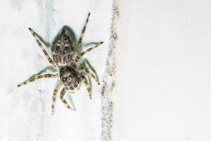 araña en la pared blanca foto