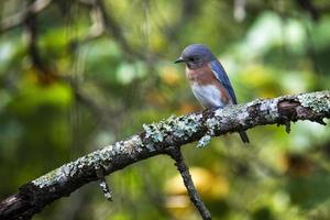 Eastern bluebird looking intently