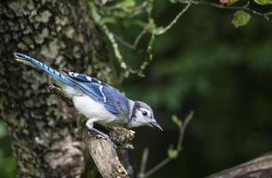 Blue Jay leans forward on apple tree branch