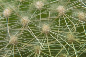 Cactus thorn close-up