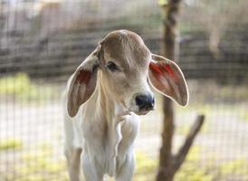 Cow near a fence