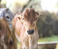 Baby calf outside photo