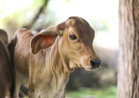 Cow near tree