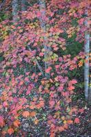 Autumn white poplar leaves