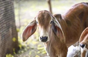 Calf with long ears