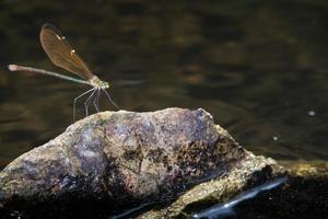 libélula en el agua foto
