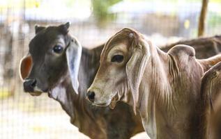 Two calves outside
