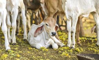 vaca en el suelo foto