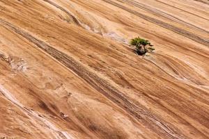 Scrub Pine on face of Stone Mountain