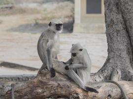 Two monkeys grooming photo