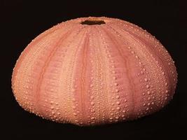 Pink Sea Urchin shell