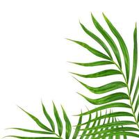 Green palm leaf on white photo
