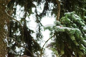 Ramas de coníferas con agujas y nieve en invierno.