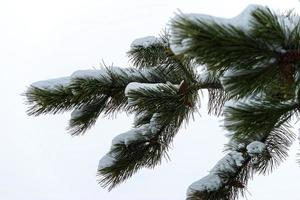 Conifer branches with needles and snow in winter