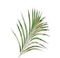 Palm tree on white background photo