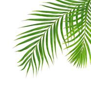 Two palm leaves isolated photo