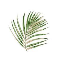 Hoja de palma verde aislado sobre un fondo blanco.