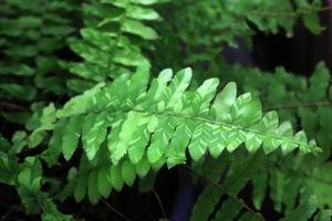 Green fern as a background, close-up. photo