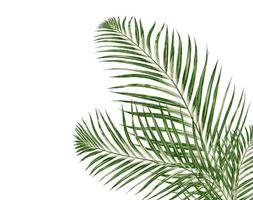 Palm leaves on a white background photo