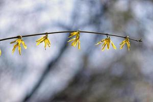 Shrub twig with yellow flowers in spring