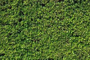 fondo de textura de hoja verde foto