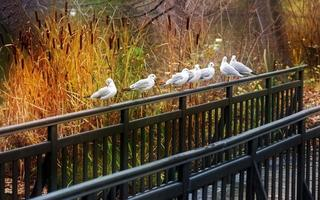 Group of gulls standing on a metal fence in an autumn park