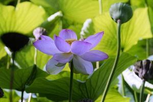 flor de loto entre hojas verdes