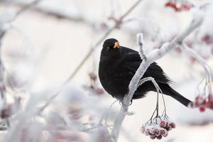 Blackbird perched on rowan tree