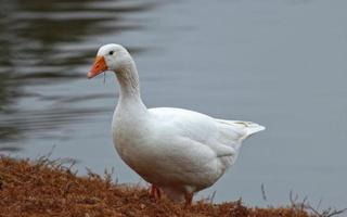White goose standing on brown conifer leaves near lake water