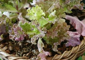Green and red lettuce photo
