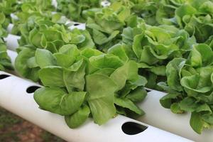 Butter head green oak lettuce photo