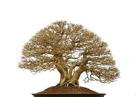 Pino bonsai contra una pared blanca
