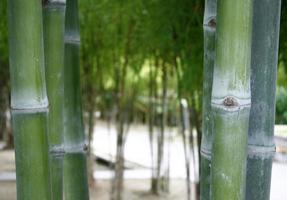fondo del bosque de bambú foto