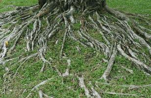 la raíz del árbol en la hierba verde foto