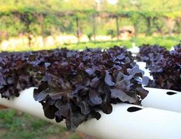cabeza de mantequilla lechuga de roble rojo, granja de cultivo de hortalizas hidropónicas orgánicas. foto