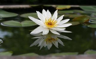 loto blanco en un estanque foto