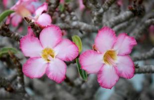 Pink desert roses