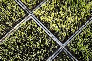 rice plant seedings photo