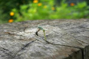 planta que crece fuera de un tocón foto