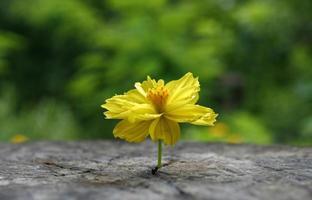Marigold growing through concrete photo