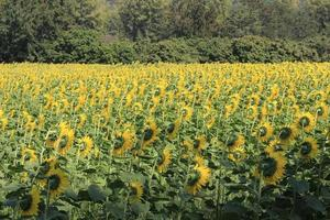 field of sunflower in summer