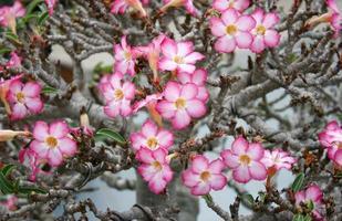 Pink impala lily flowers