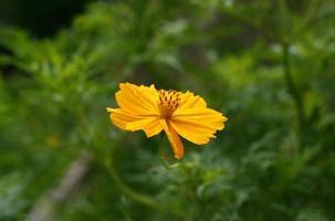 Marigold flower in the sunlight photo