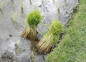 plantas de arroz en el agua foto